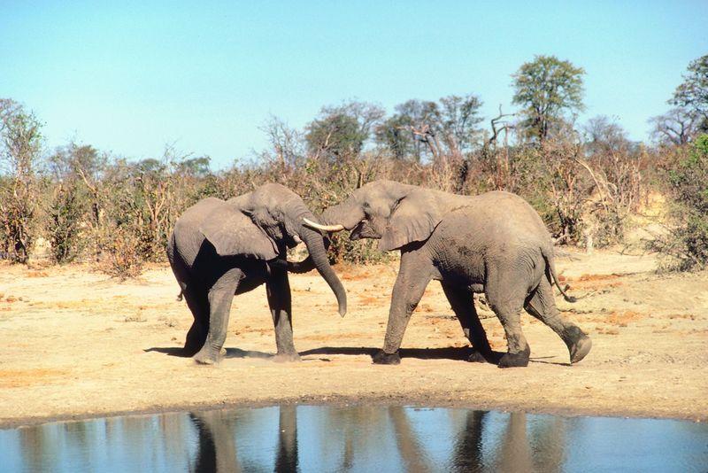 Elefantii pot deosebi limbile oamenilor