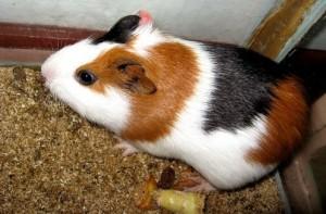 porcusor guinea