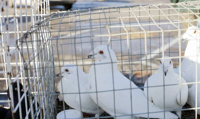 Primavara – perioada de rasfat a porumbeilor – cum ii pregatesti corect pentru concursuri?